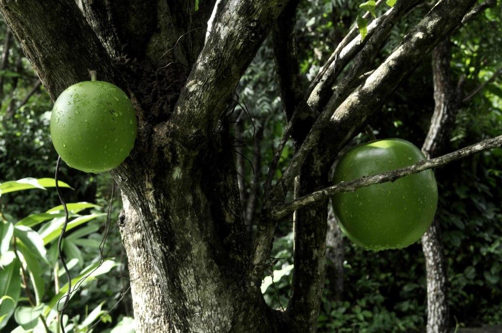 Árvore de Jícaro