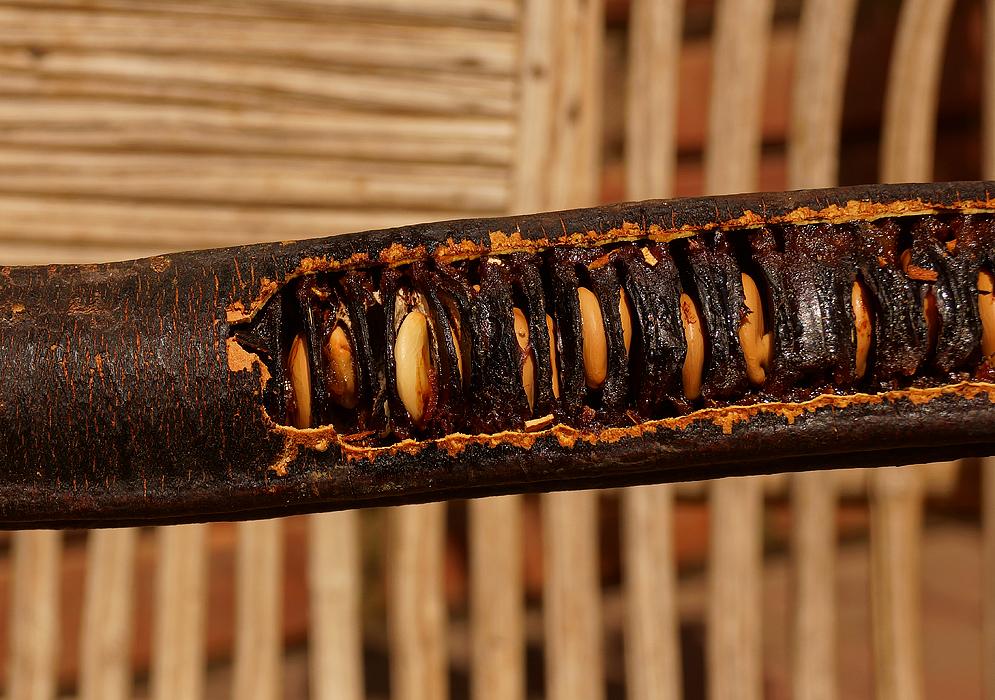 cassia-grandis-fruit-pod