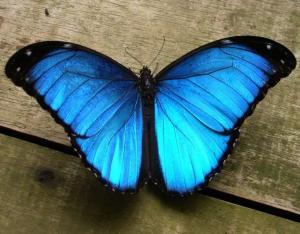 mariposa-morfo-azul